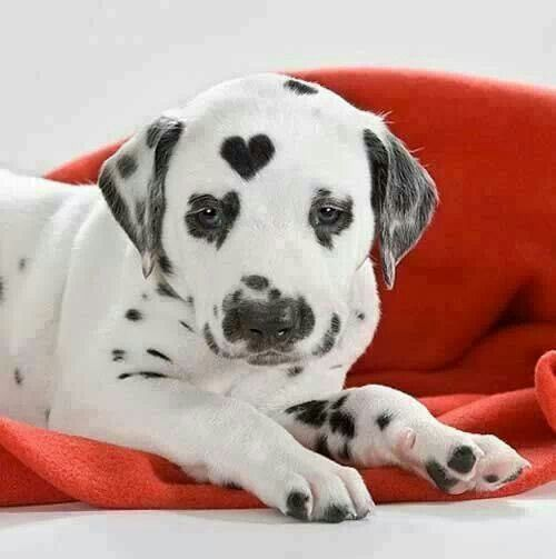 Cachorros-diferentes-por-suas-marcas-inusitadas-no-corpo (16)