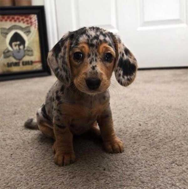 Cachorros-diferentes-por-suas-marcas-inusitadas-no-corpo (21)