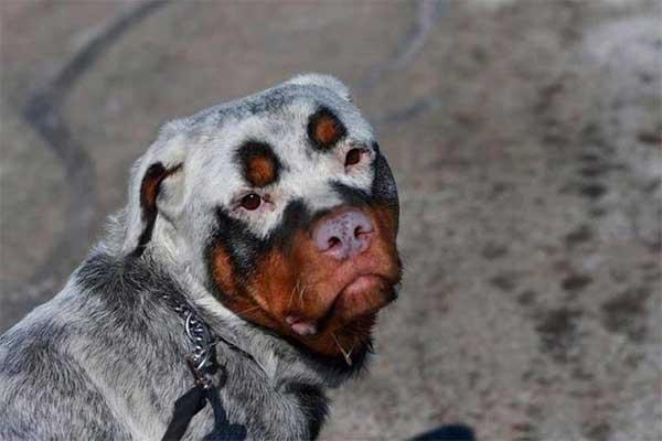 Cachorros-diferentes-por-suas-marcas-inusitadas-no-corpo (25)