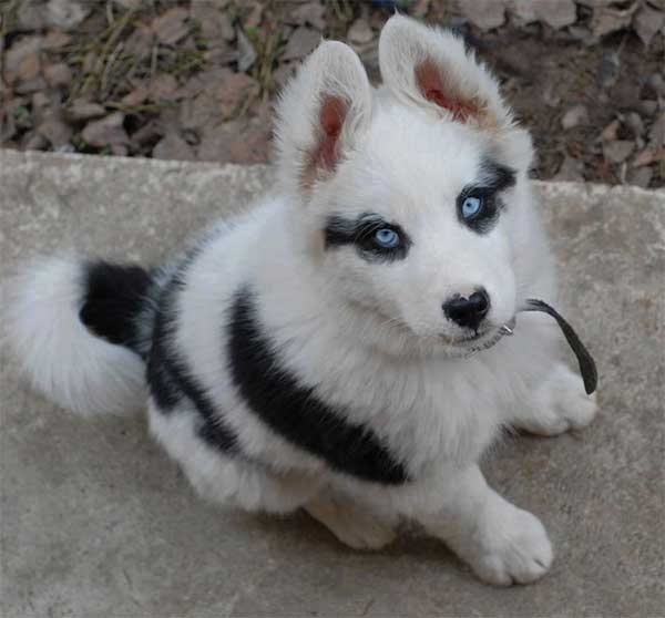 Cachorros-diferentes-por-suas-marcas-inusitadas-no-corpo (27)