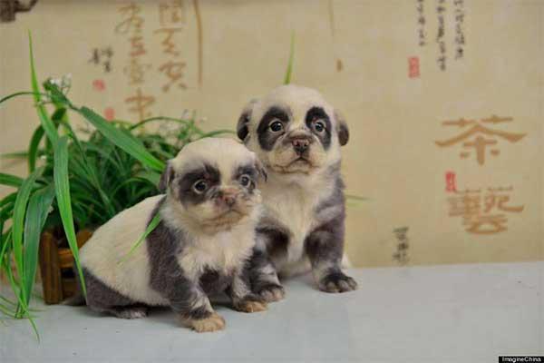Cachorros-diferentes-por-suas-marcas-inusitadas-no-corpo (5)