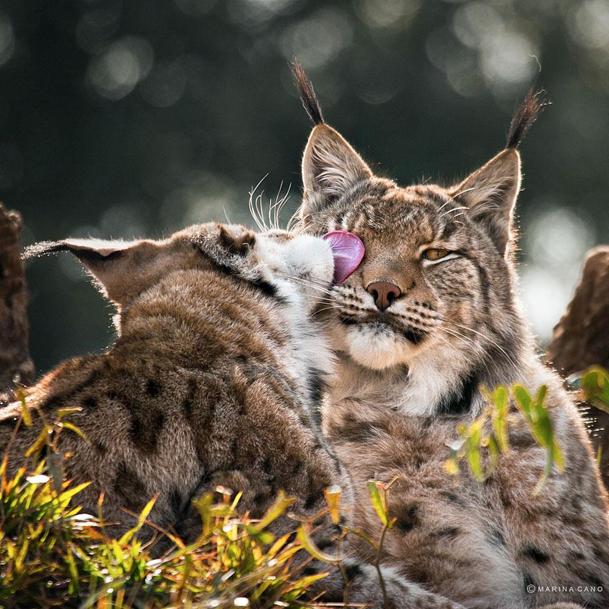 A majestosa beleza de animais selvagens capturados por Marina Cano (19)