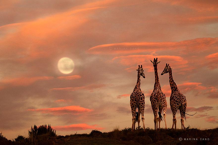 A majestosa beleza de animais selvagens capturados por Marina Cano (7)