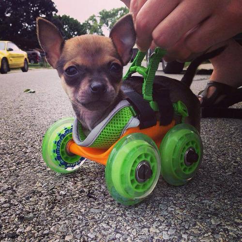 Chihuahua-sem-as-patinhas-ganha-carrinho-e-volta-a-andar-Blog Animal (3)
