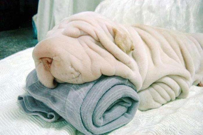 Fotos-de-cachorros-que-se-parecem-com-outras-coisas (4)