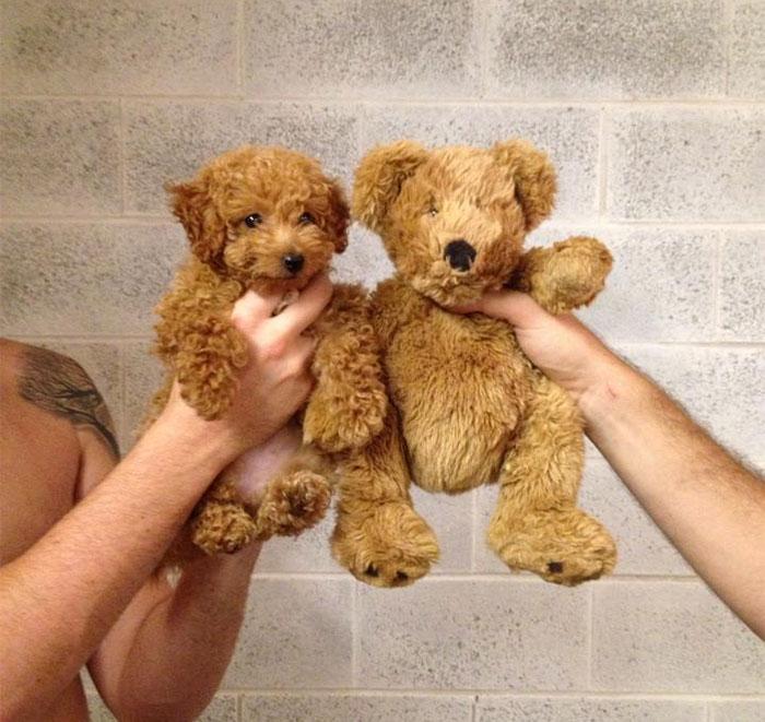 Fotos-de-cachorros-que-se-parecem-com-outras-coisas (9)