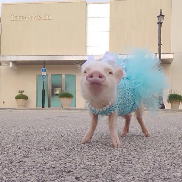 Priscilla, a porquinha mais bela do Instagram (14)
