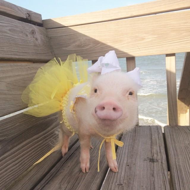 Priscilla, a porquinha mais bela do Instagram (15)