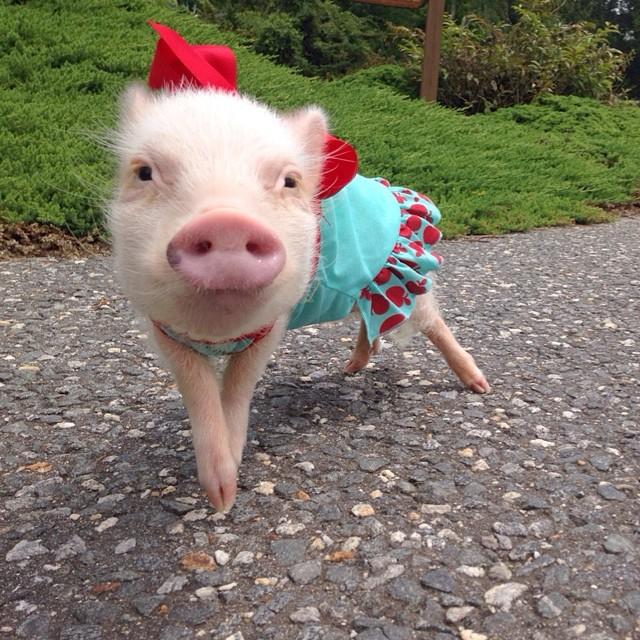 Priscilla, a porquinha mais bela do Instagram (16)