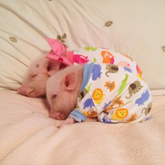 Priscilla, a porquinha mais bela do Instagram (3)
