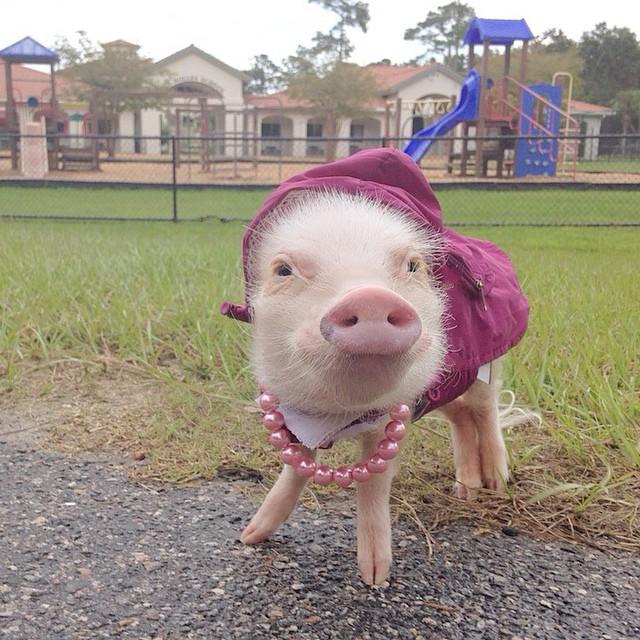 Priscilla, a porquinha mais bela do Instagram (4)