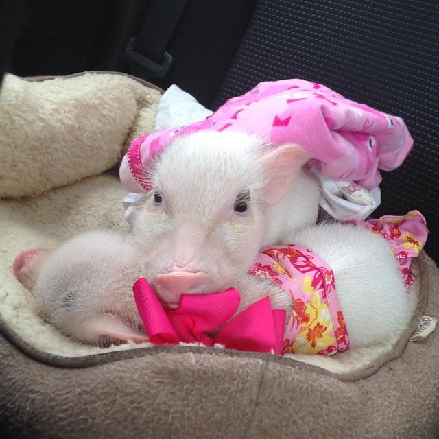 Priscilla, a porquinha mais bela do Instagram (5)