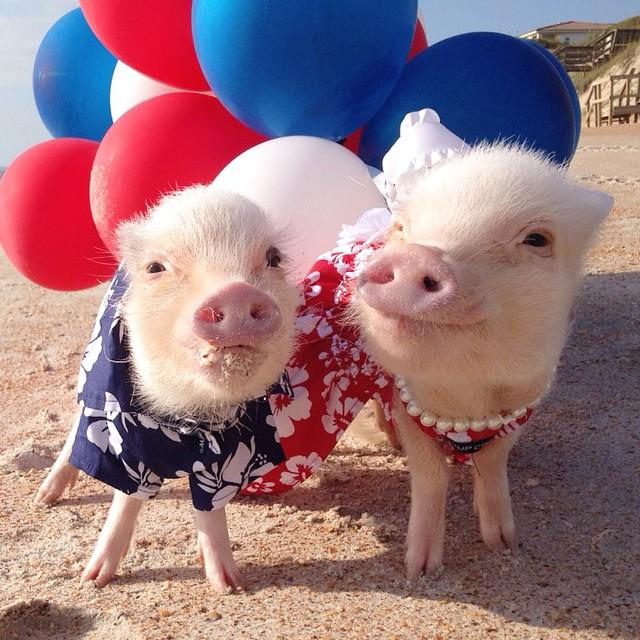 Priscilla, a porquinha mais bela do Instagram (7)