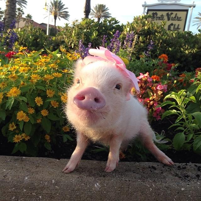 Priscilla, a porquinha mais bela do Instagram (9)
