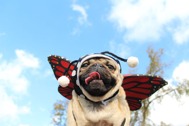 Doug - O Pug que adora Halloween (8)