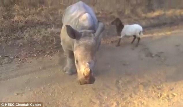 Filhote de rinoceronte tenta imitar pulos de seu amigo cabrito