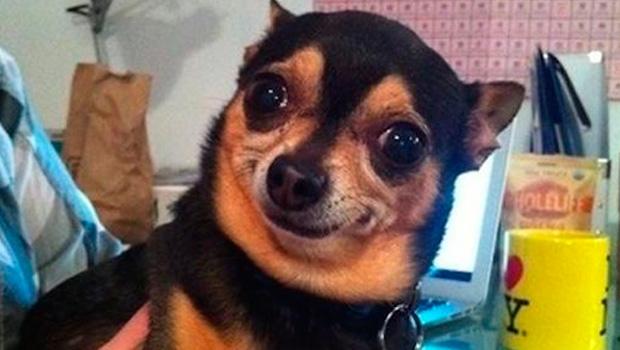 Morre Chihuahua do meme Qual a necessidade disso