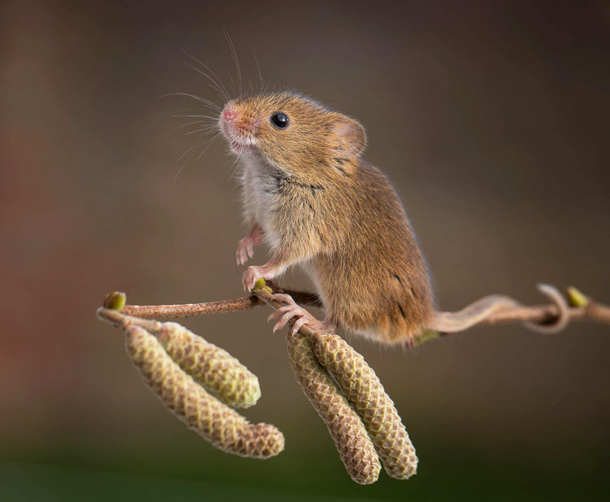 Pequenos camundongos selvagens (1)