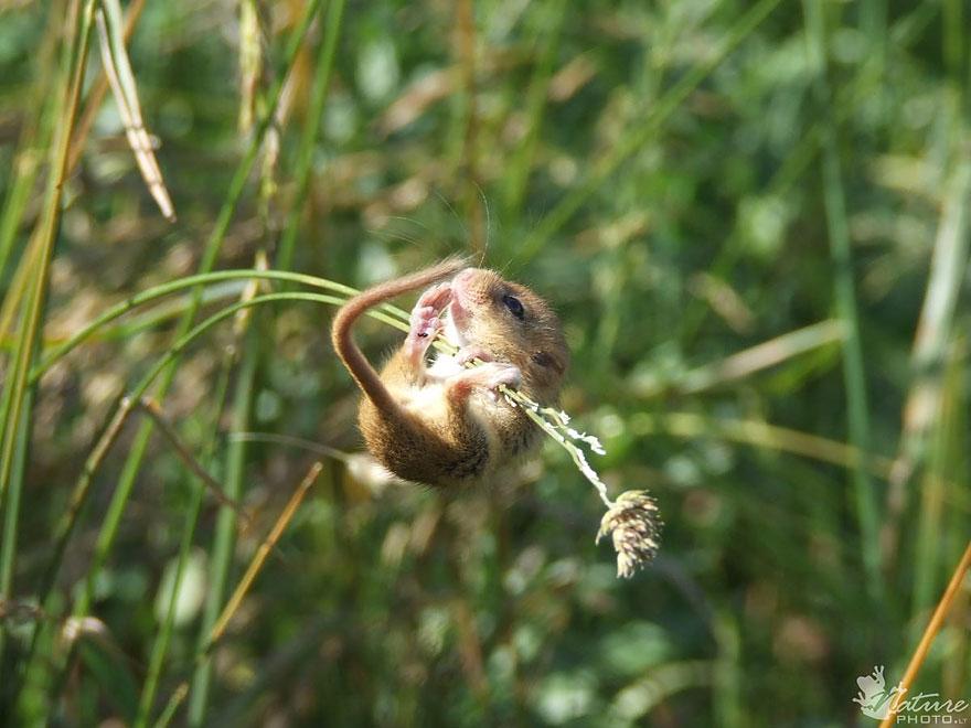 Pequenos camundongos selvagens (10)