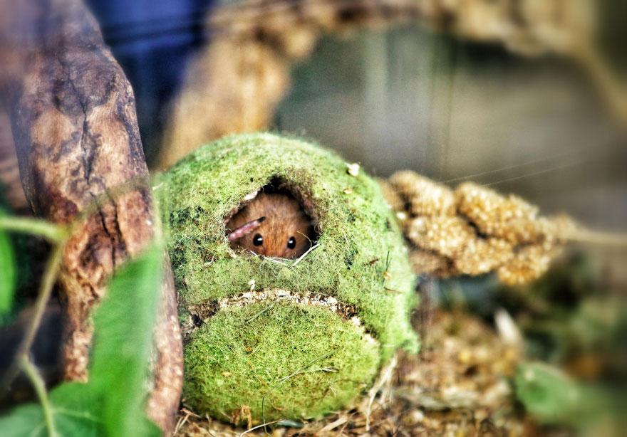Pequenos camundongos selvagens (11)