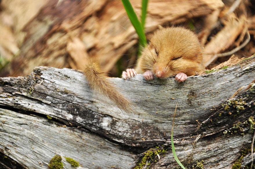 Pequenos camundongos selvagens (14)