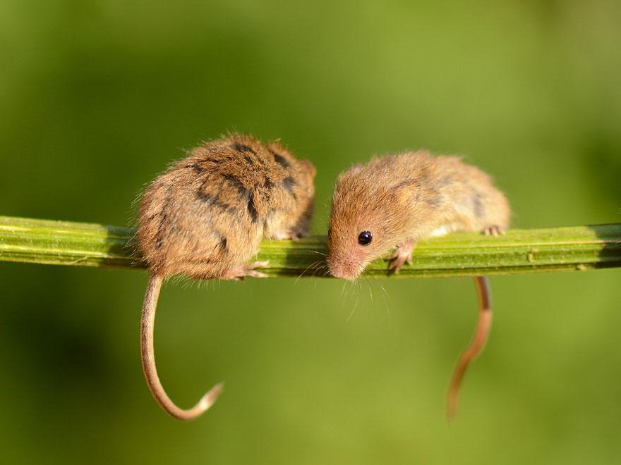 Pequenos camundongos selvagens (20)