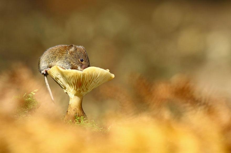 Pequenos camundongos selvagens (25)