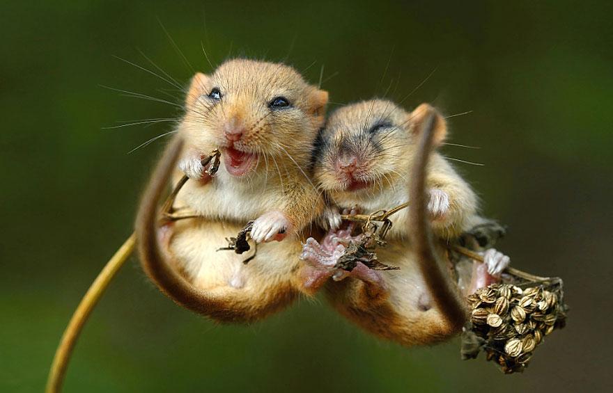 Pequenos camundongos selvagens (4)