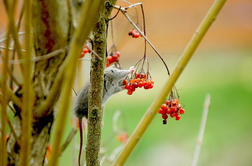 Pequenos camundongos selvagens (7)