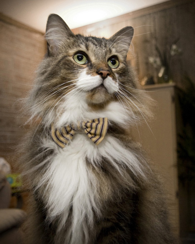 31-Gatos-mais-elegantes-e-estilosos-do-mundo-Blog-Animal (2)
