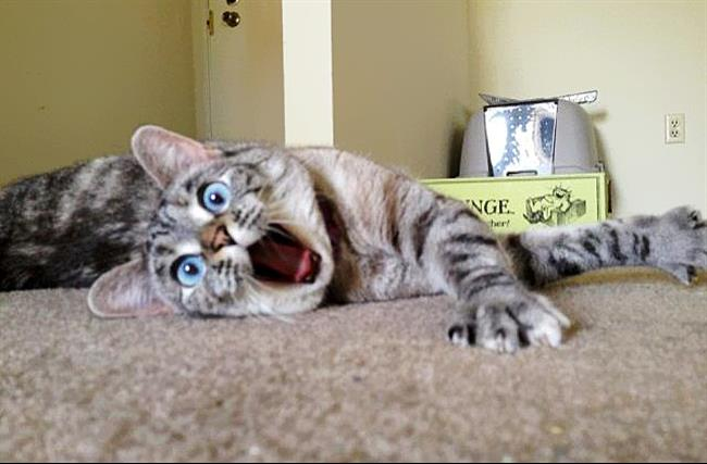 Os-Gatos-Mais-Famosos-da-Internet-Blog-Animal (37)