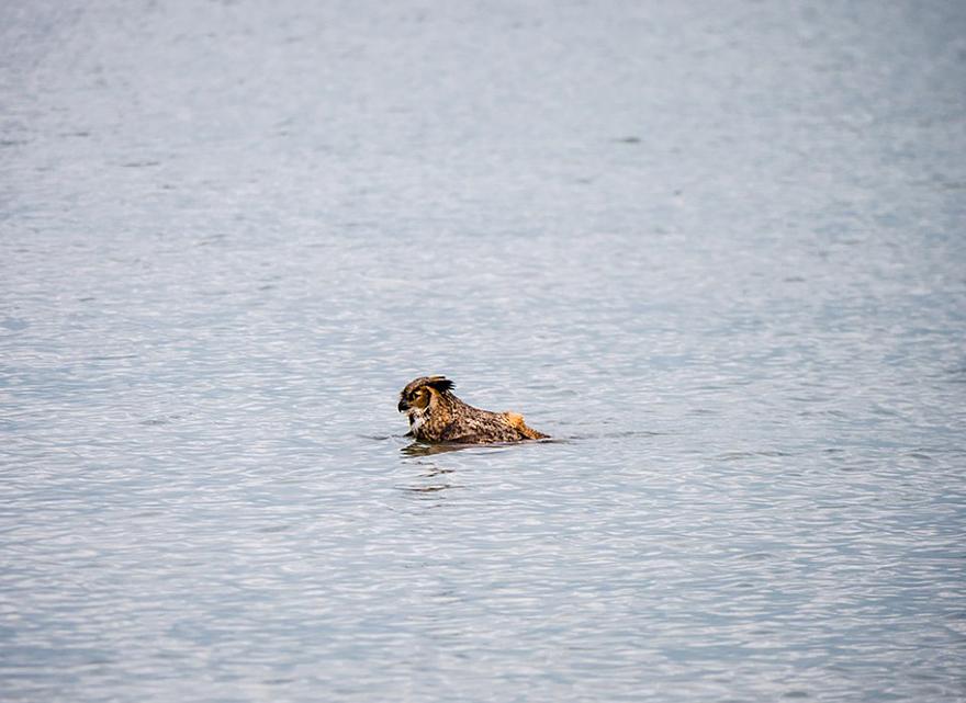 Aparentemente as corujas sabem nadar agora (1)