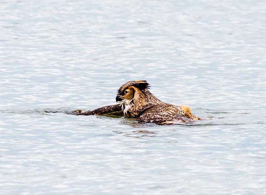 Aparentemente as corujas sabem nadar agora (2)