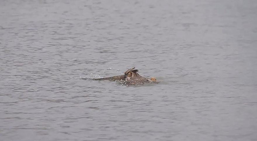 Aparentemente as corujas sabem nadar agora (3)