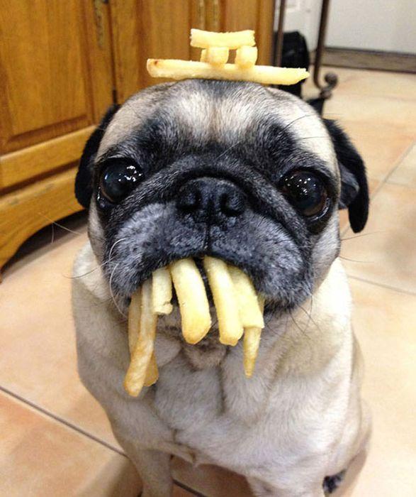 Onde tem comida tem Pug (9)