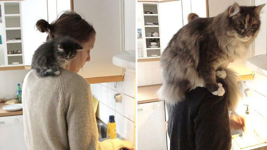 Fotos antes e depois de gatos crescendo (12)