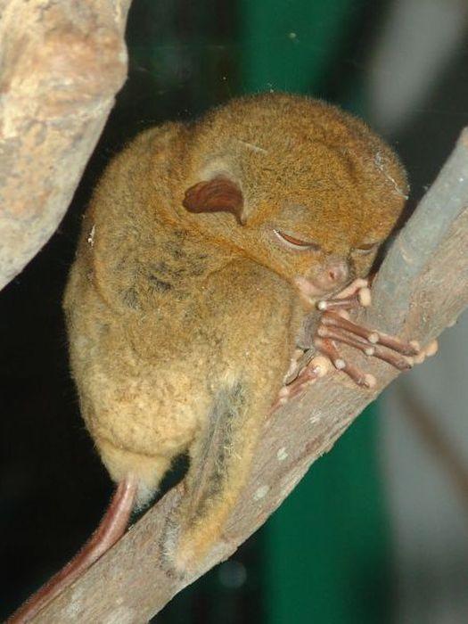 Macaco_Tarsius_pequena_fofa (23)