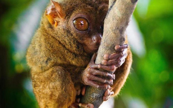 Macaco_Tarsius_pequena_fofa (34)