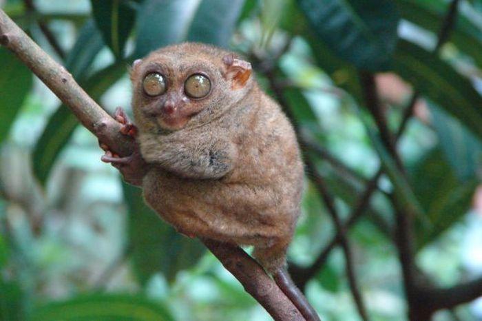 Macaco_Tarsius_pequena_fofa (37)