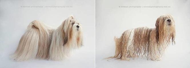 Fotos-divertidas-de-cachorros-antes-e-depois-do-banho (8)