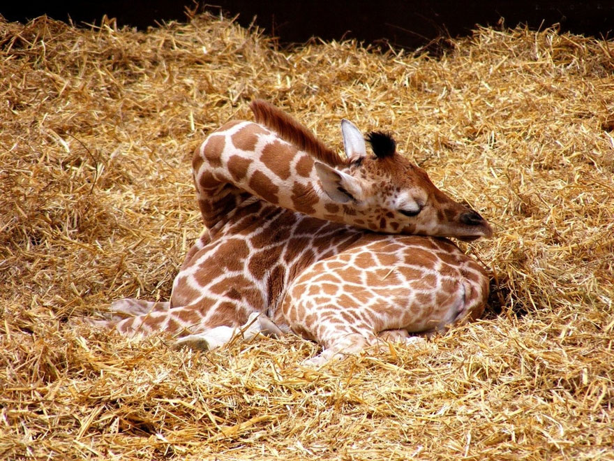 Como as girafas dormem (1)