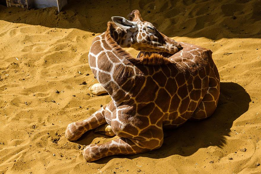 Como as girafas dormem (10)