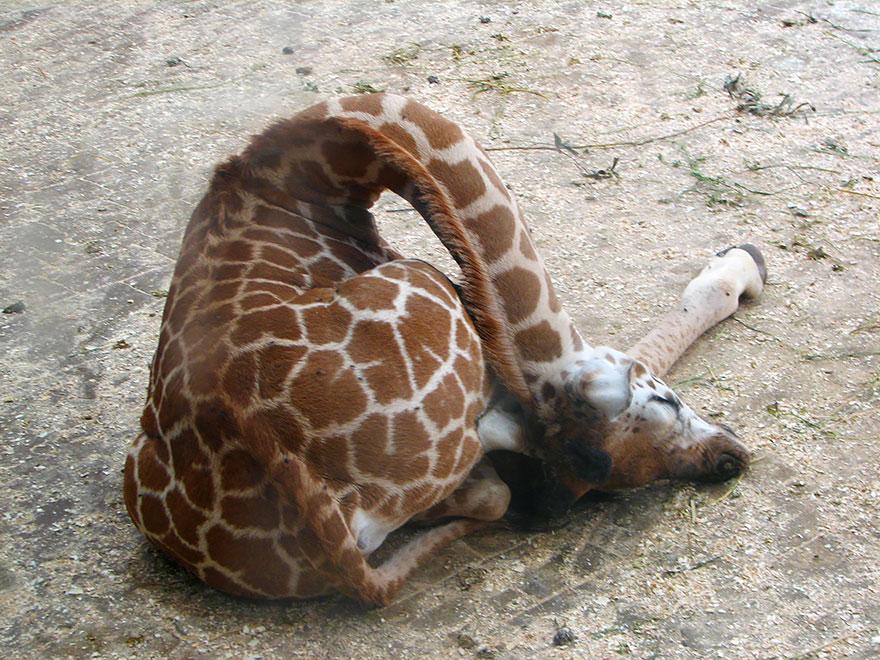 Como as girafas dormem (3)