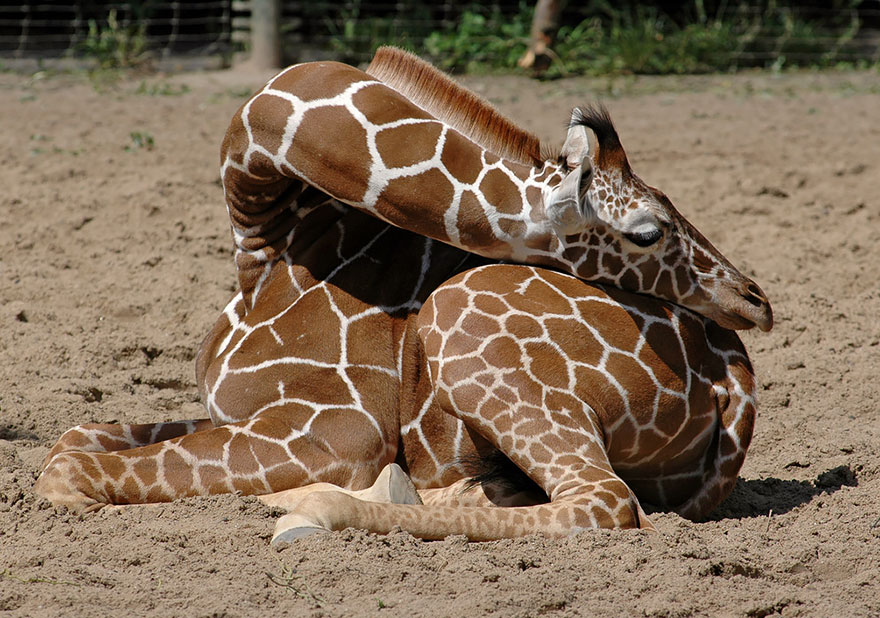 Como as girafas dormem (7)