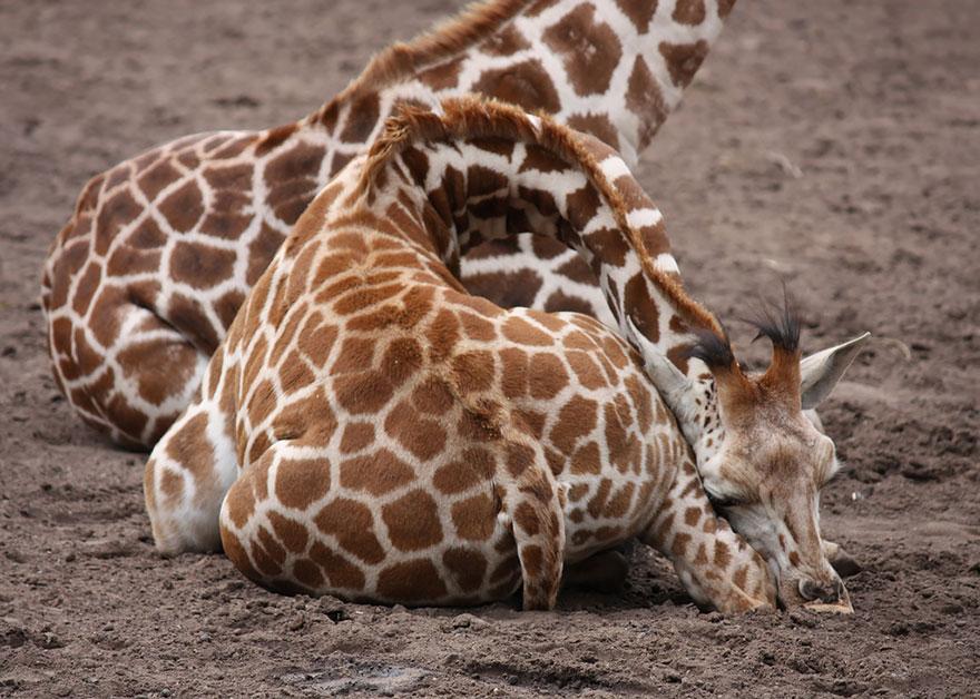 Como as girafas dormem (8)