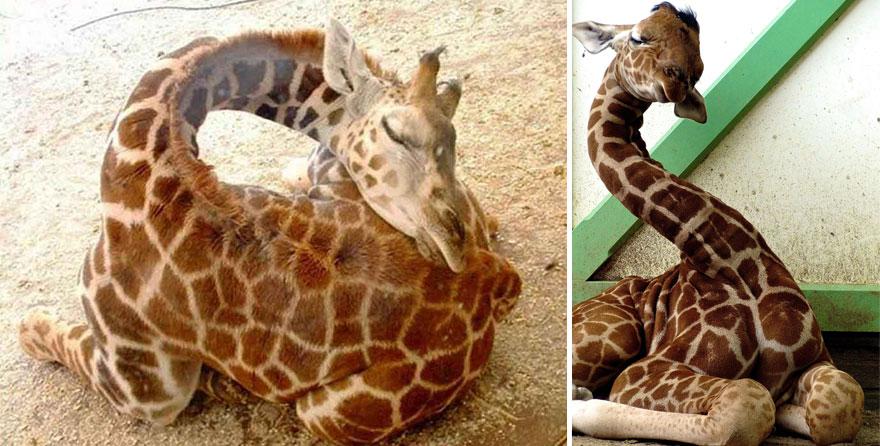 Como as girafas dormem (9)