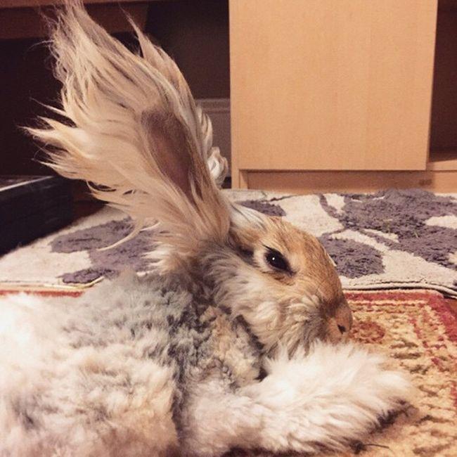 coelho-de-orelhas-gigantes (1)