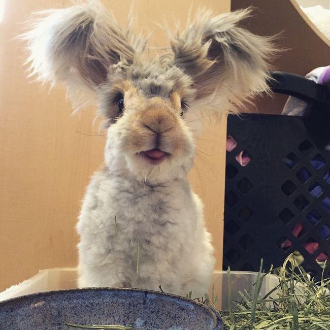 coelho-de-orelhas-gigantes (2)