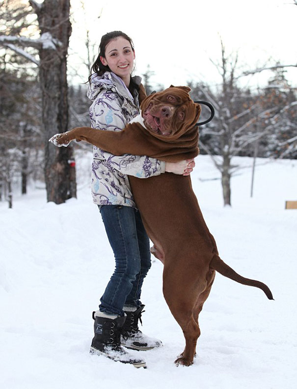 Hulk o maior pitbull do mundo (2)