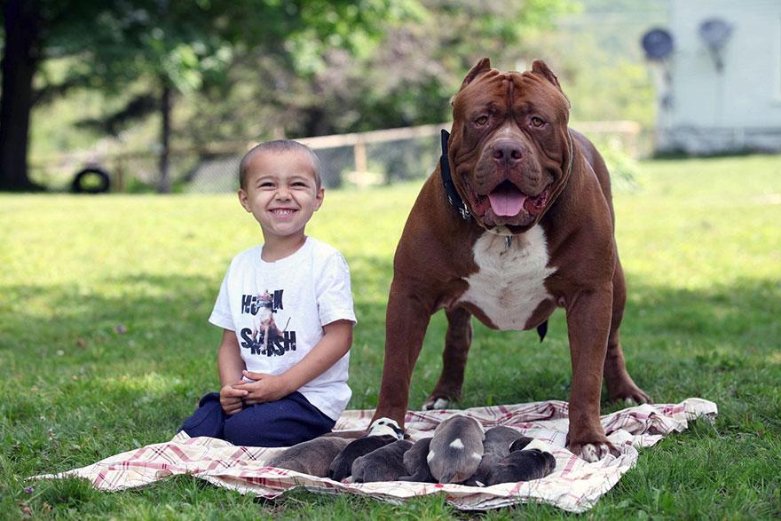 Maior pitbull do mundo (5)